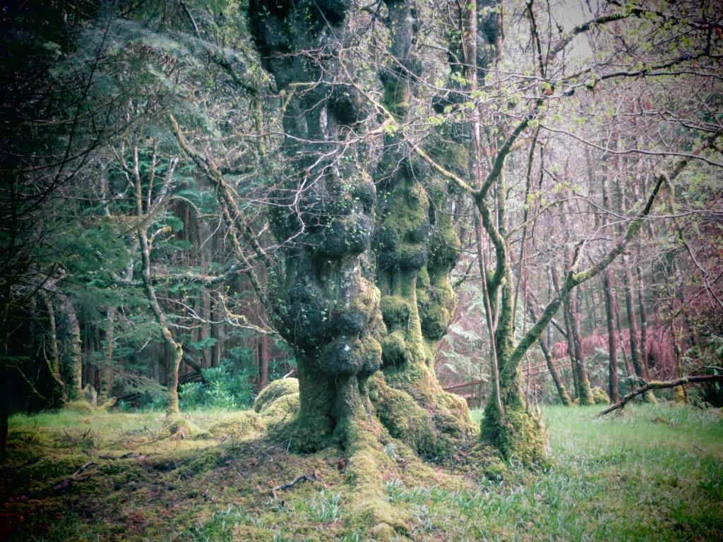 arbre - Glencoe Lochan