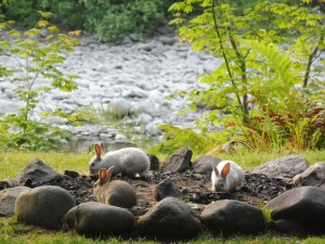 lapins dans l'Olympic National Park
