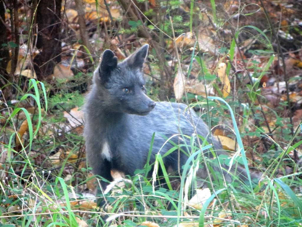 bébé renard sur San Juan Island