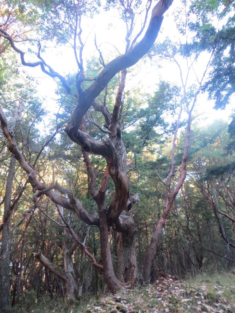 arbres sur San Juan Island - USA