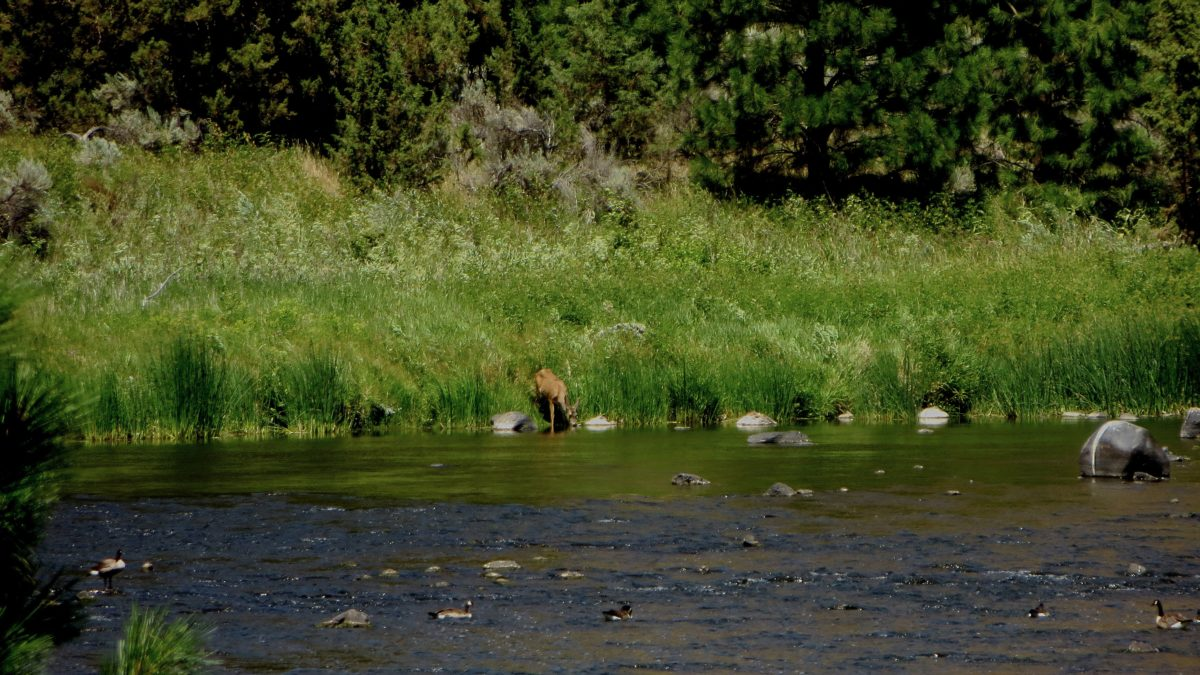 Biche au bord de la crooked river - Oregon