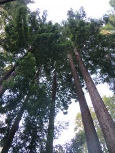 séquoias à Gualala