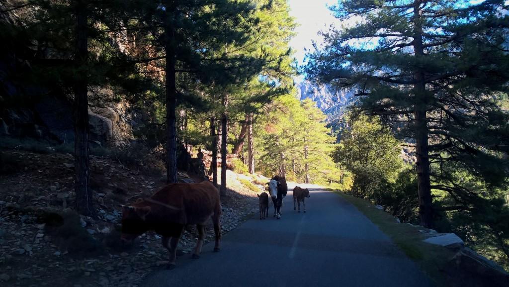 vaches sur la route - gorges de la Restonica - Corse