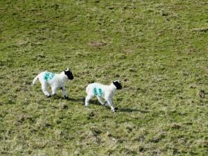 moutons autour du Glengorm Castle sur l'île de Mull (Ecosse)