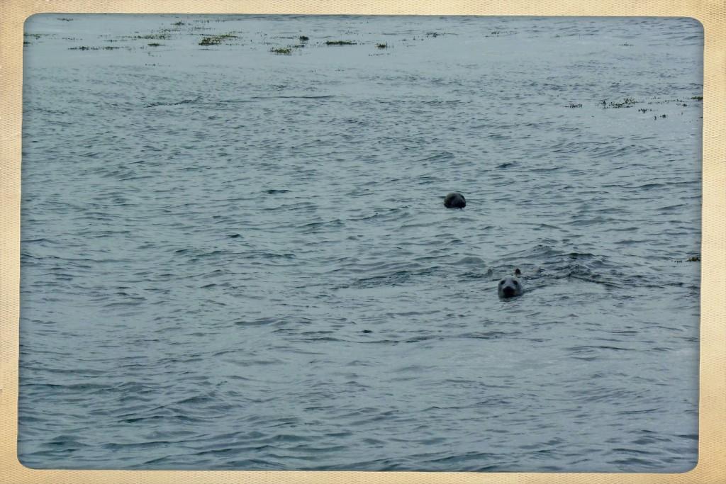 phoques au large de l'île de Mull