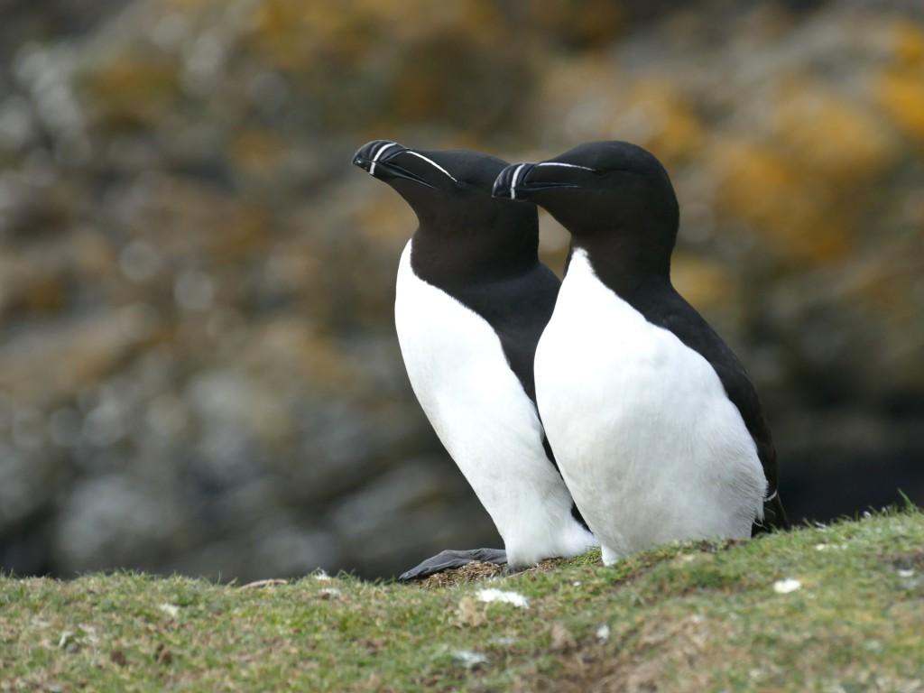 pingouins torda sur l'île de Lunga (Ecosse)