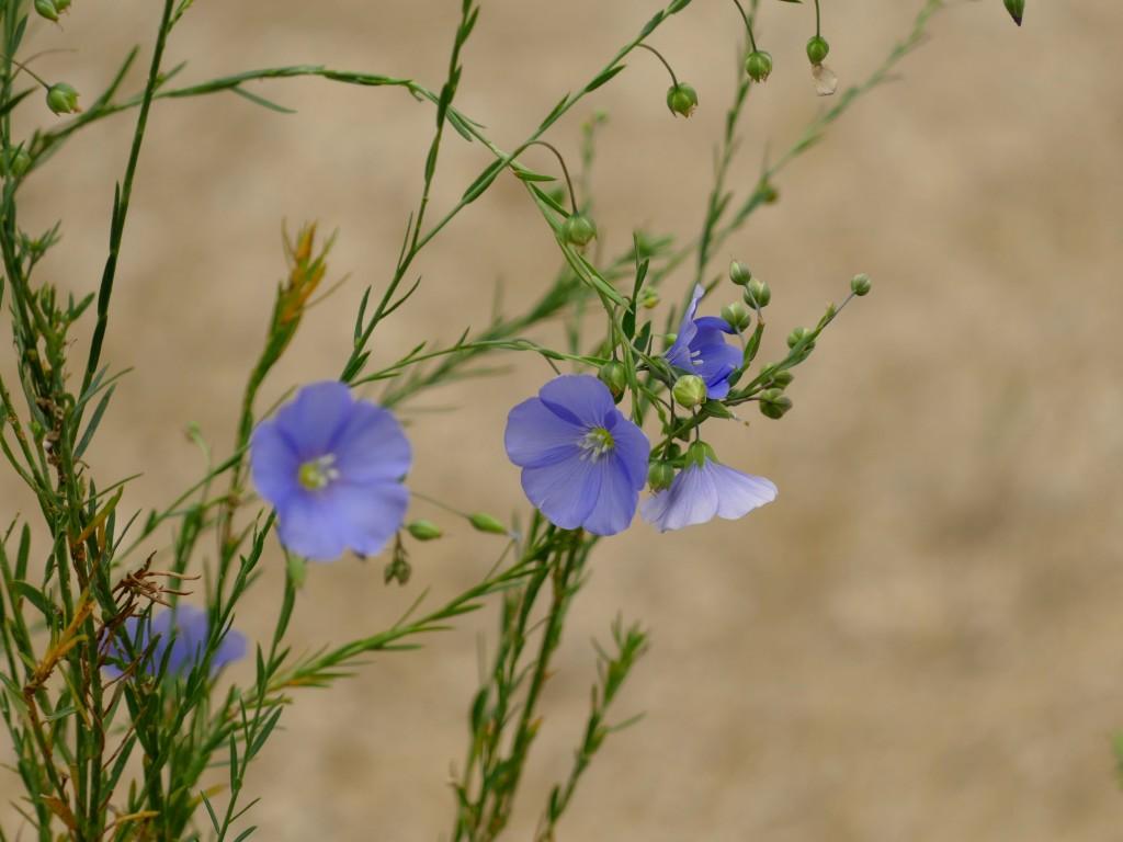 fleur dans le site archéologique de Montmaurin (Haute-Garonne)