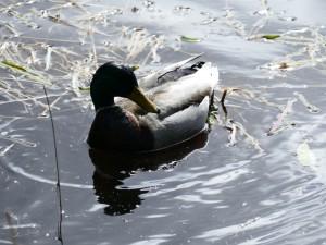 canard sur le Glencoe Lochan (Ecosse)
