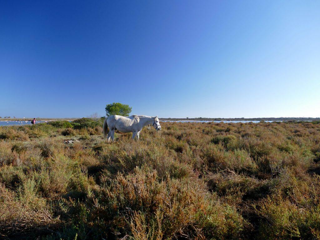 cheval blanc aux Aresquiers - Hérault