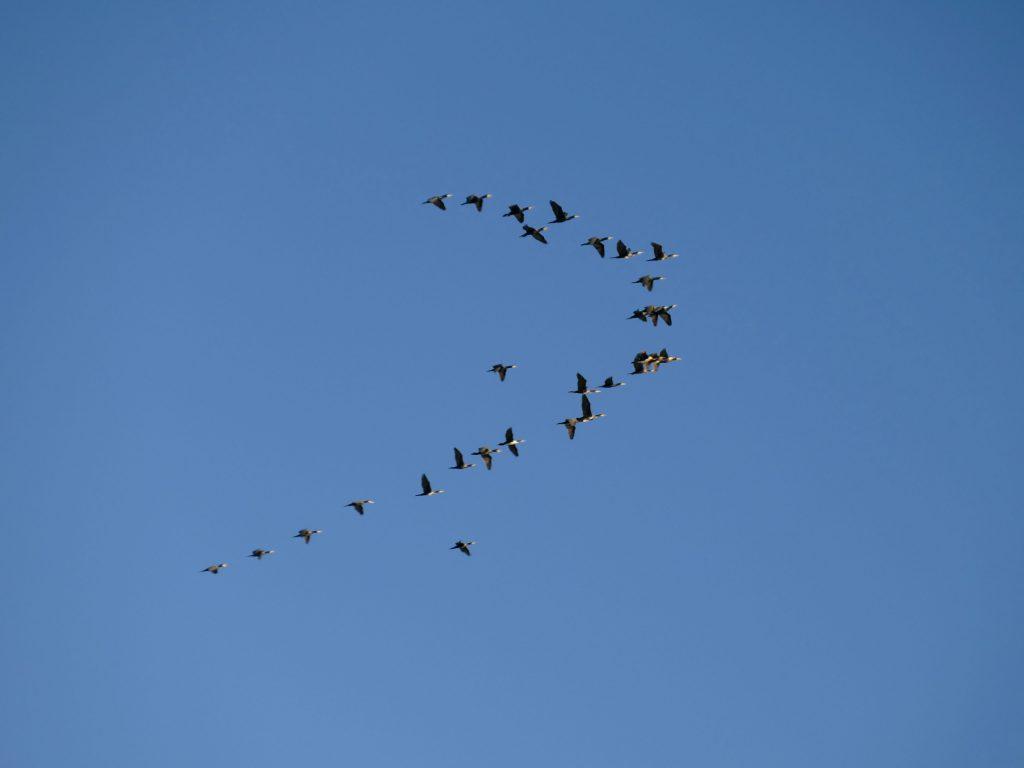 canards sauvages - les arequiers dans l'Hérault