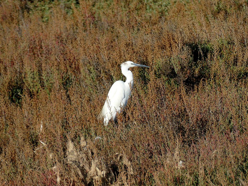 oiseau aux Aresquiers - Hérault