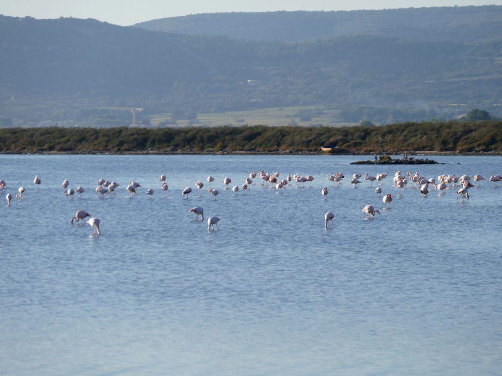 flamants roses aux Aresquiers dans l'Hérault