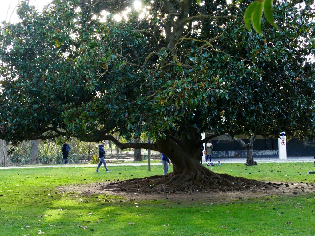 magnolia dans les jardins du château de Laurens Agde