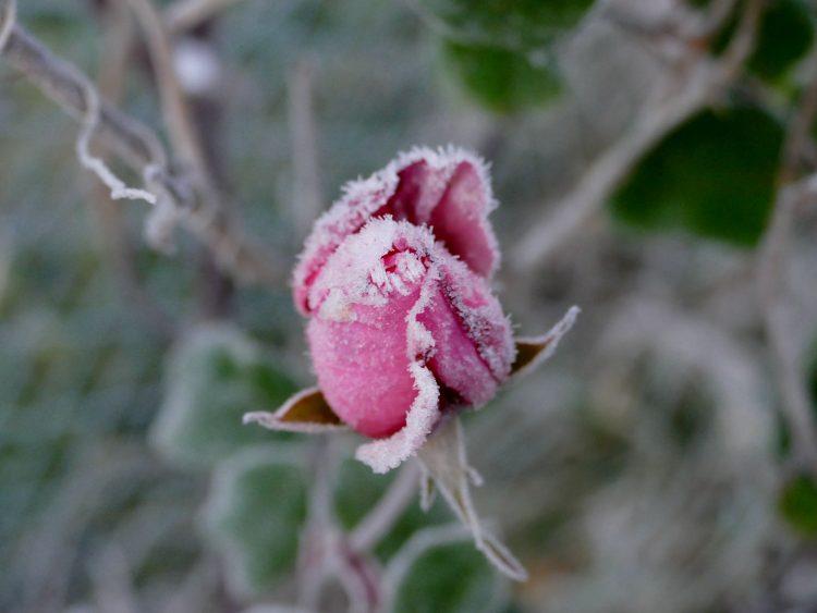 rose rose givrée