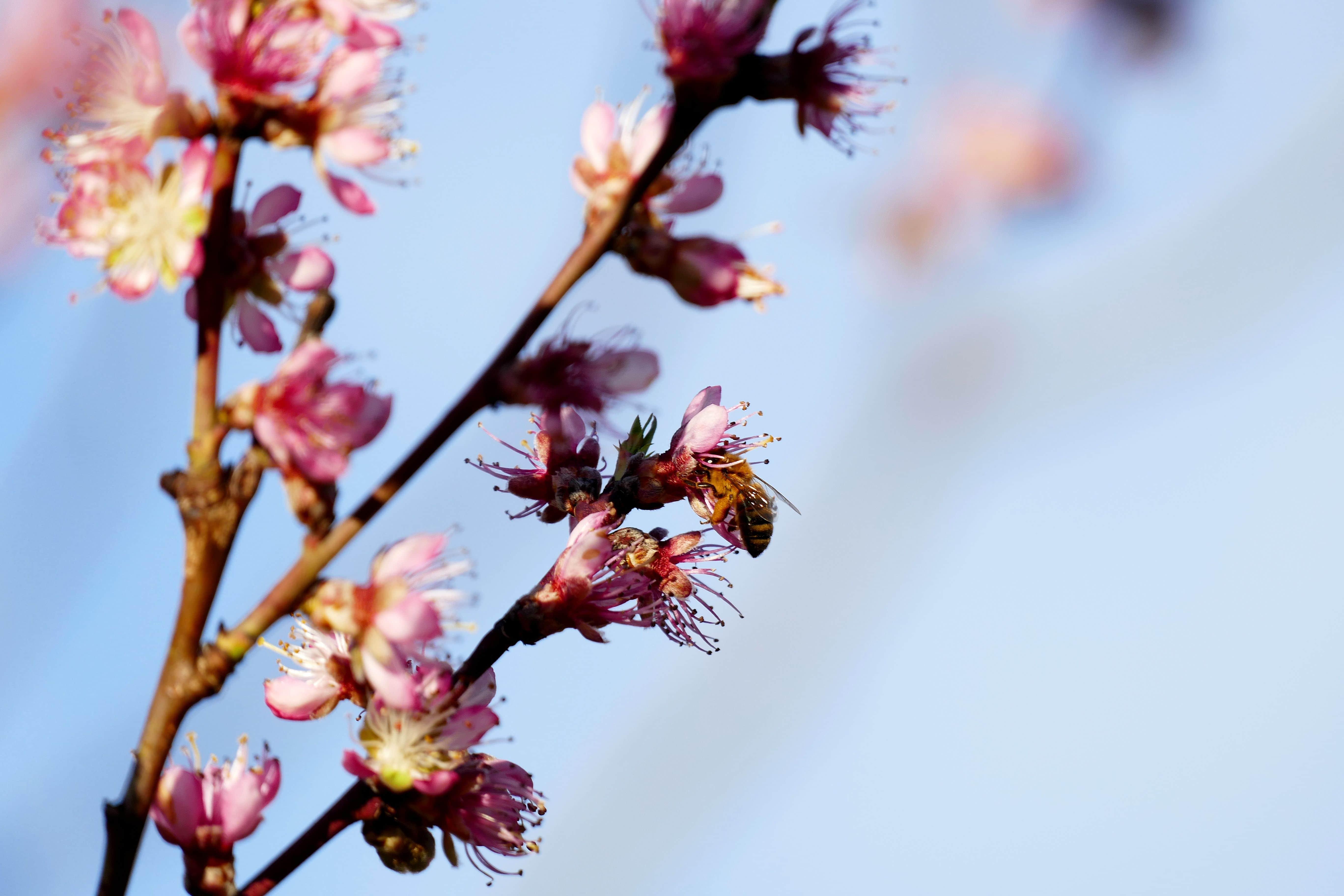 fleur de fruitier et guêpe