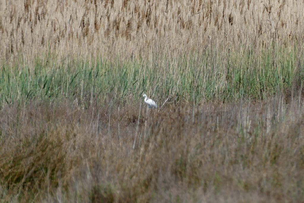 oiseau blanc dans les roseaux