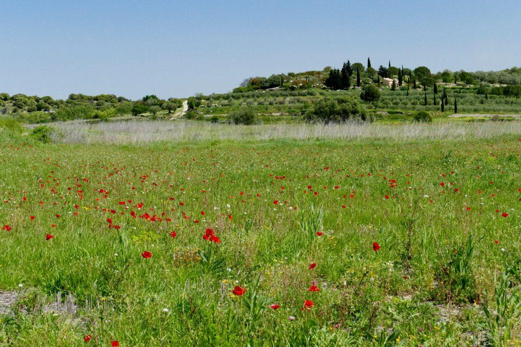 champs de coquelicots dans l'Hérault