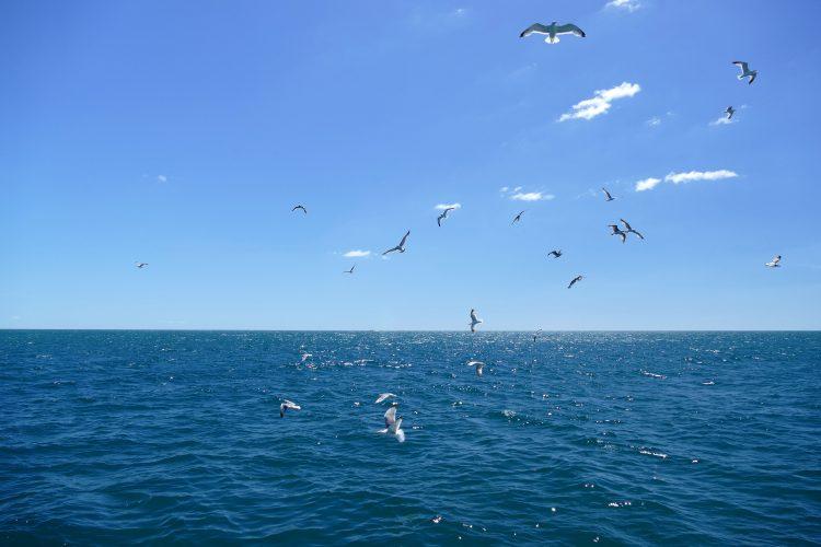envol de Goélands au large du Cap d'Agde