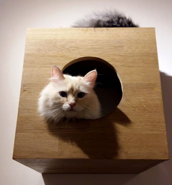 chat du chapristea - toulouse