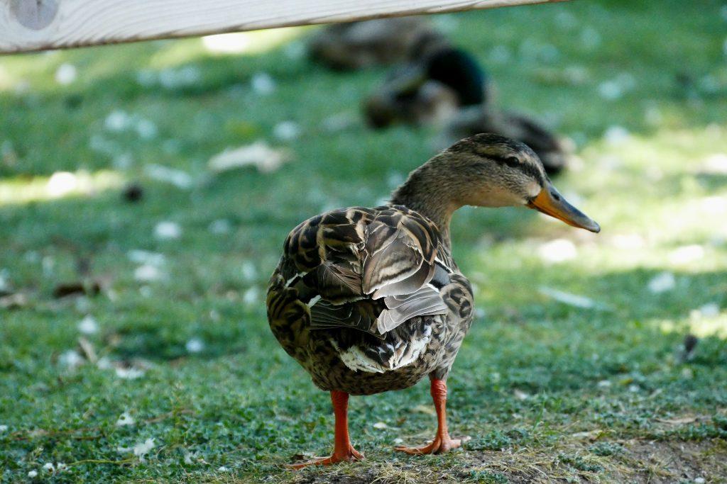 canard dans le parc Olibius Riquier - Hyères