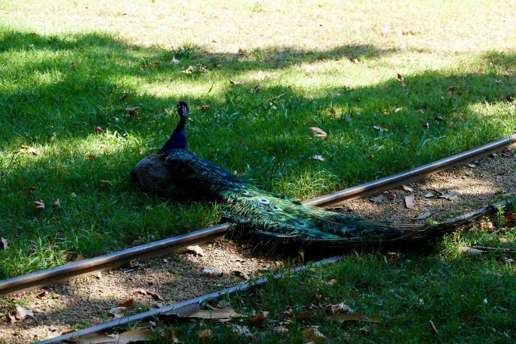 Paon dans le parc Olibius Riquier - Hyères