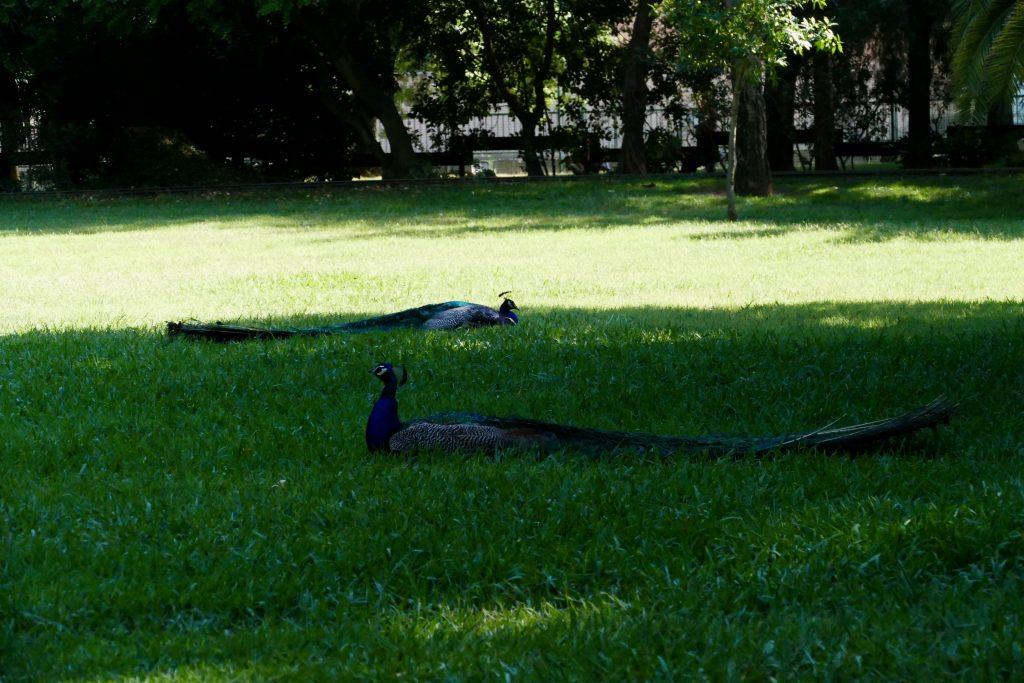 Paons dans le parc Olibius Riquier - Hyères