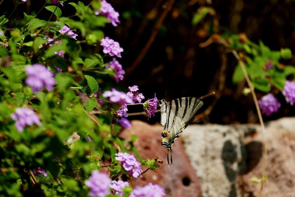 papillon dans le parc Sainte-Claire -Hyère