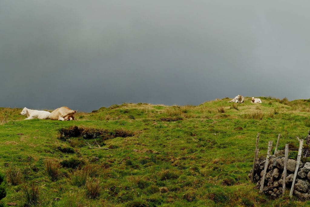 vache (Açores)