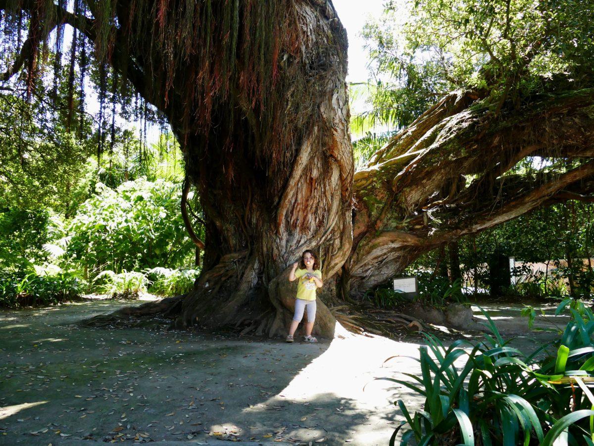 arbre dans parc Terra Nostra de Furnas (Açores)