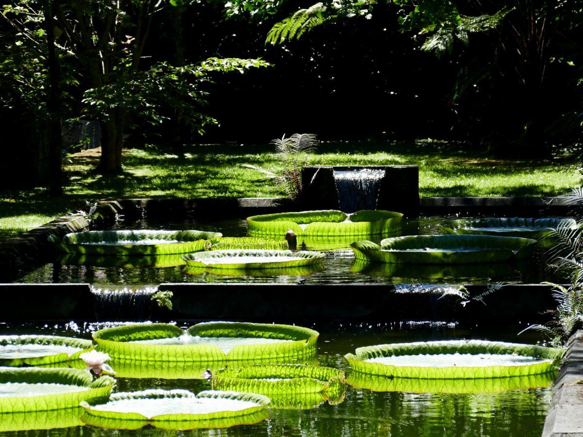 nénuphar dans le parc Terra Nostra sur Sao Miguel (Açores)