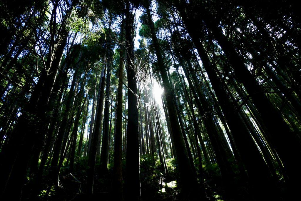 forêt sur Sao Miguel