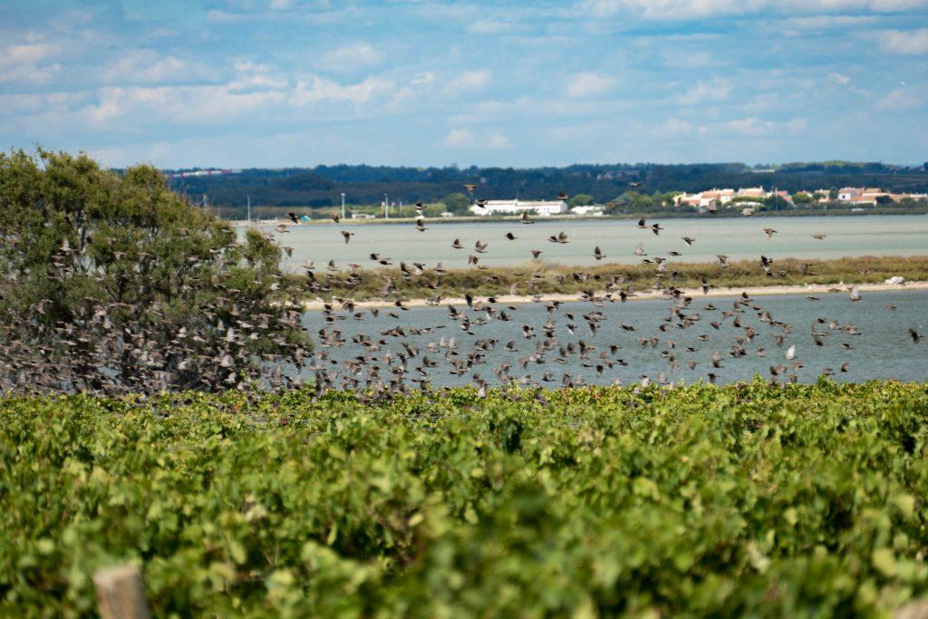 Vol d'oiseaux au dessus des vignes - Hérault