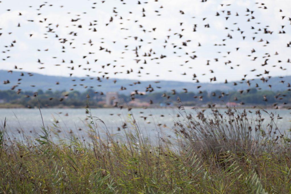 oiseaux et étangs autour de la presqu'île de Maguelone -Hérault