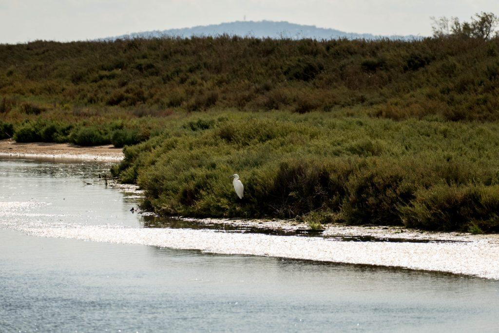 oiseau blanc sur les étangs autour de la presqu'île de Maguelone -Hérault