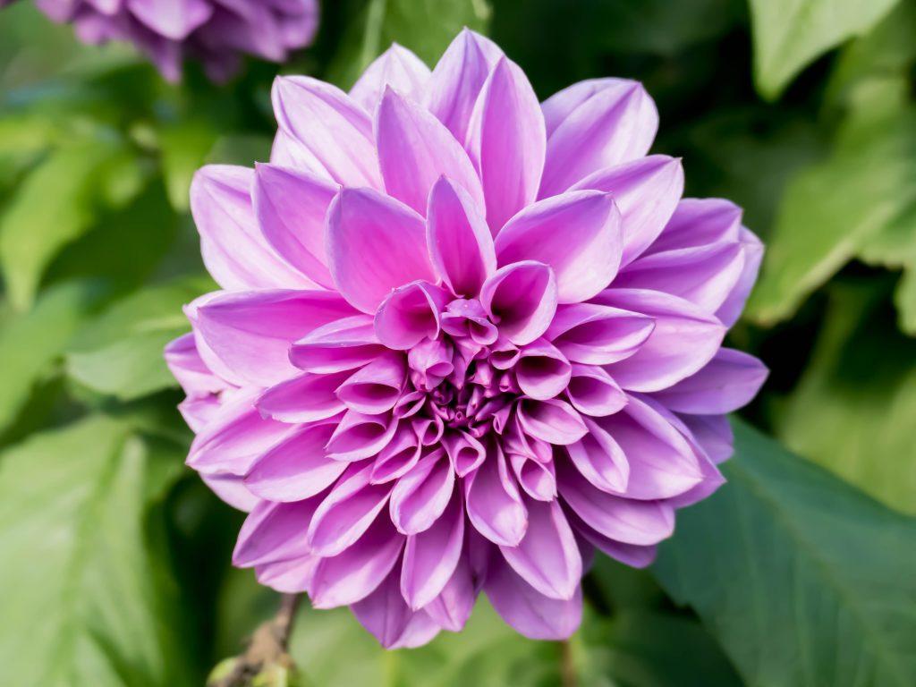 grosse fleur violette dans les jardins de Giverny