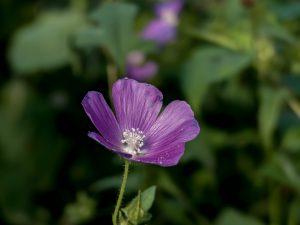 petite fleur violette dans les jardins de Giverny