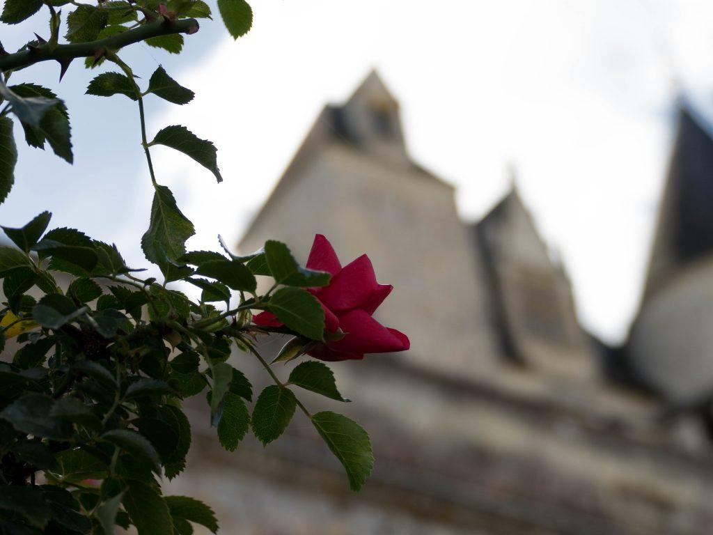 rose rouge au château d'Ussé