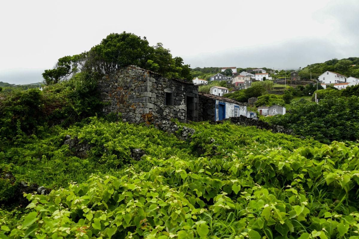 vignes - Calheta De Nesquim sur Pico aux Açores