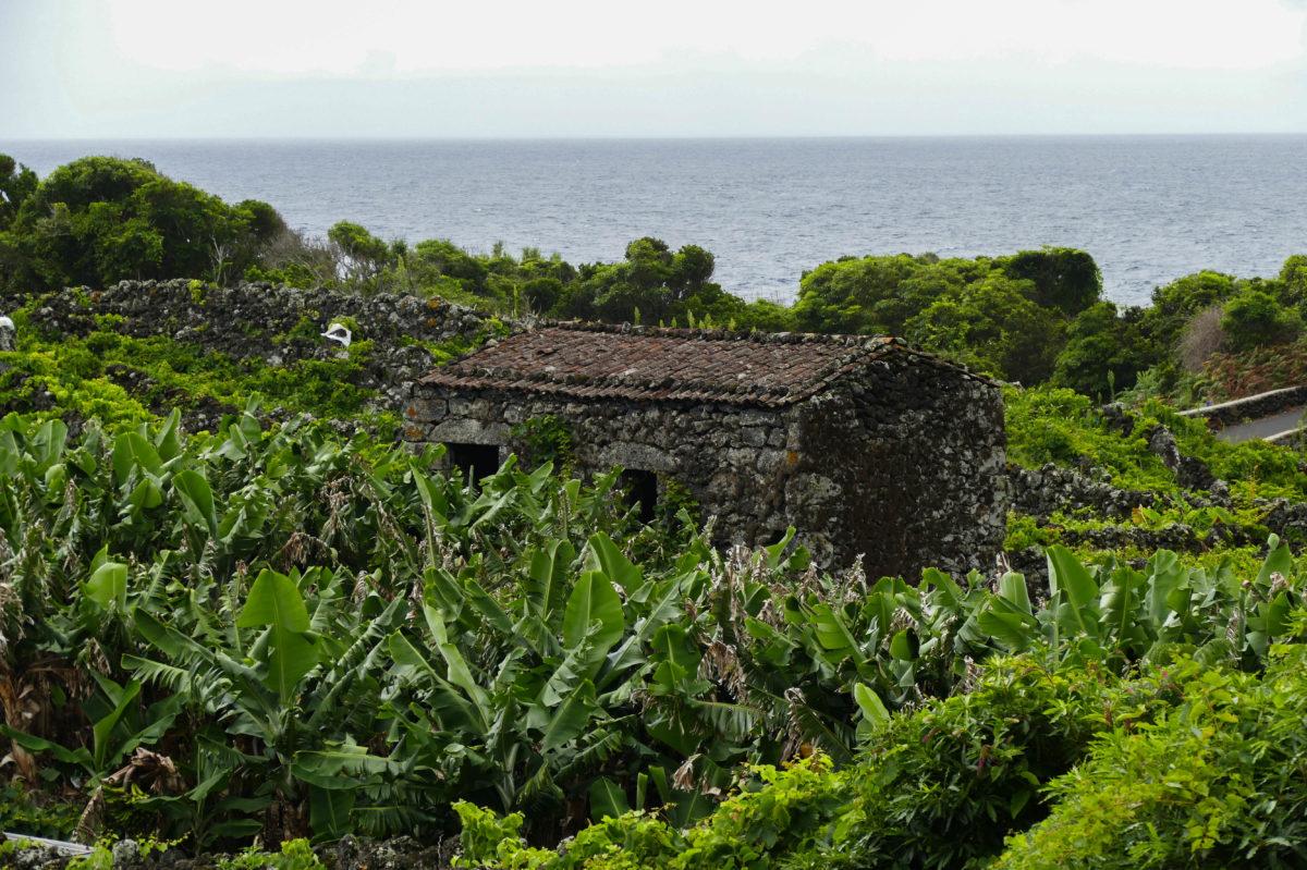 bananiers et petite maison à Calheta De Nesquim sur Pico aux Açores