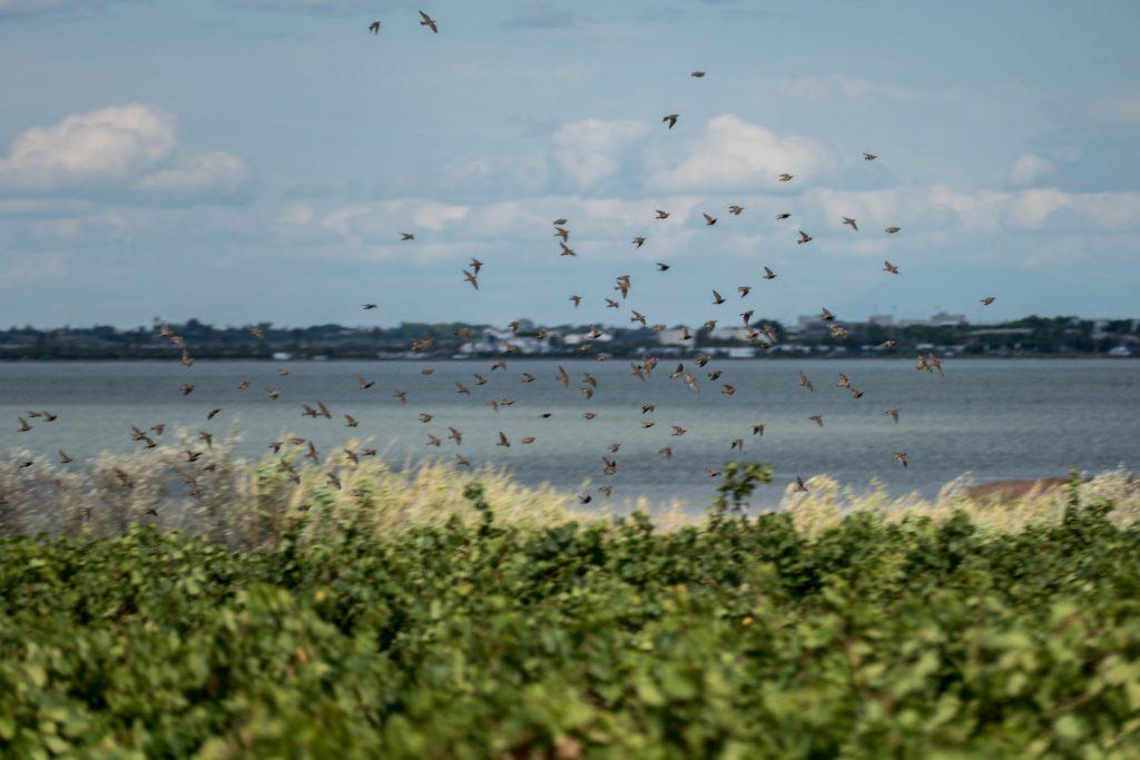 oiseaux sur les vignes de Maguelone