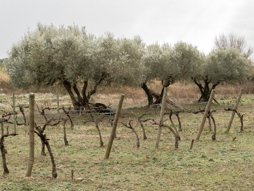 oliviers et vignes