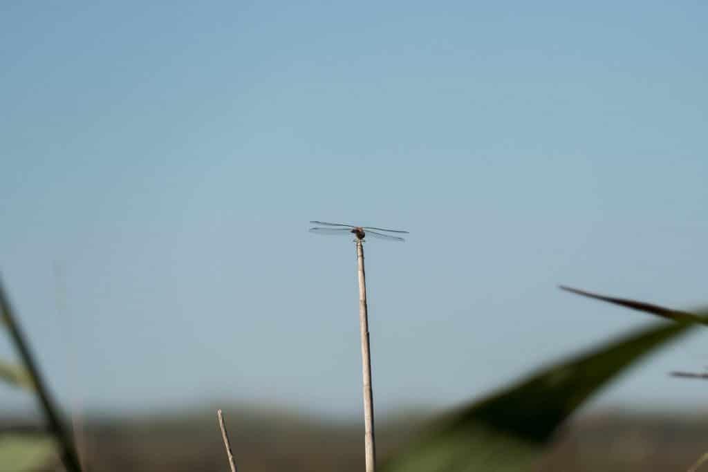 libellule dans la réserve de Bagnas