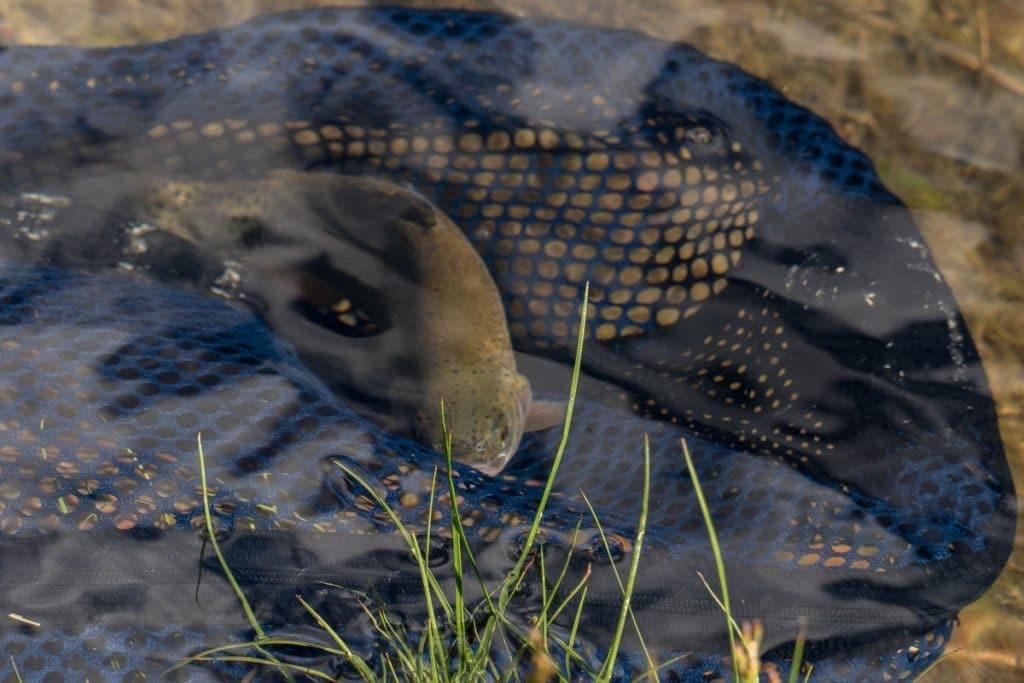 truite dans la green river