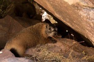 Une marmotte rencontrée au bord de la Green River