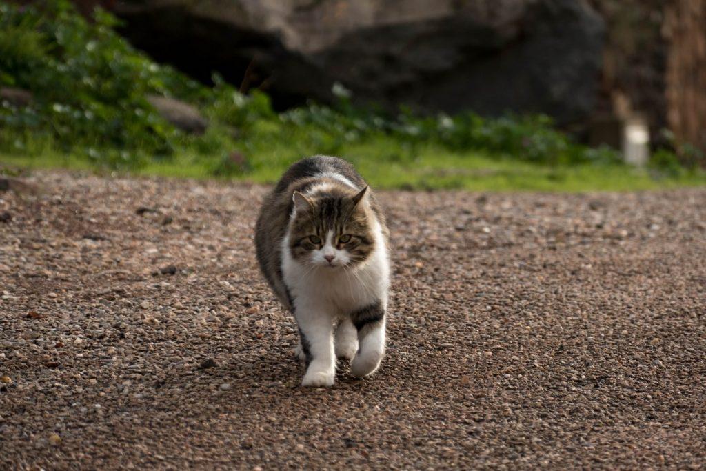 chat dans Celles, village abandonné au bord du lac du Salagou - Hérault