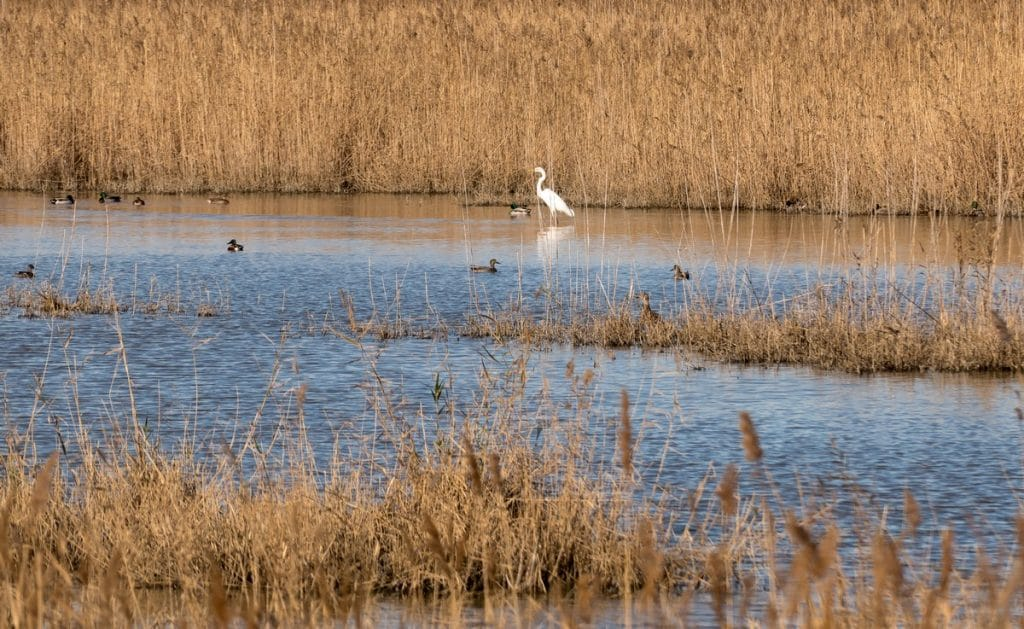 oiseaux dans les mares du Grand Castelou, Narbonne