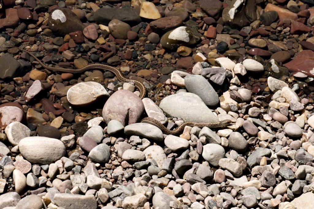 serpent au bord de la snake river-grand téton