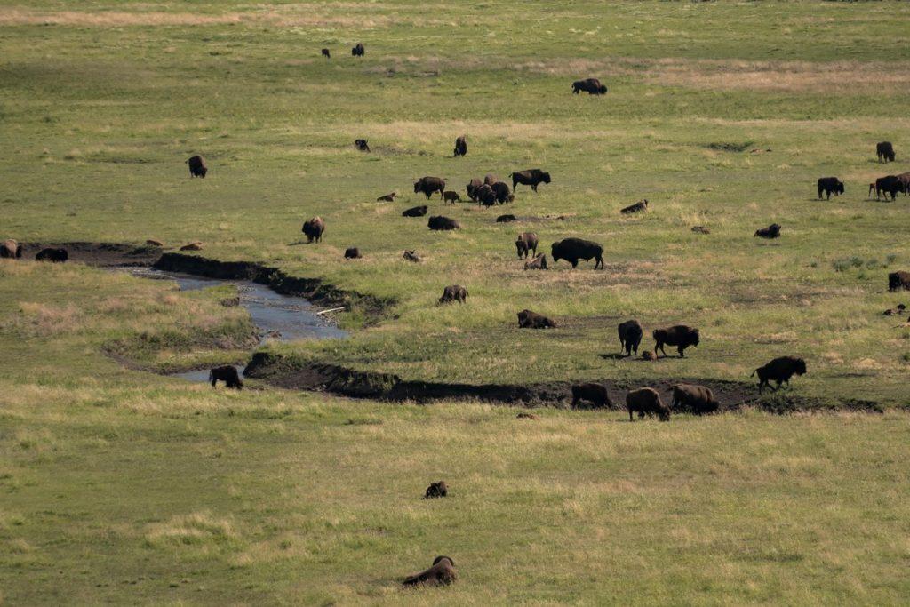 Bisons dans la Lamar Valley