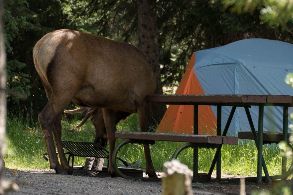 cerf dans un camping du Yellowstone