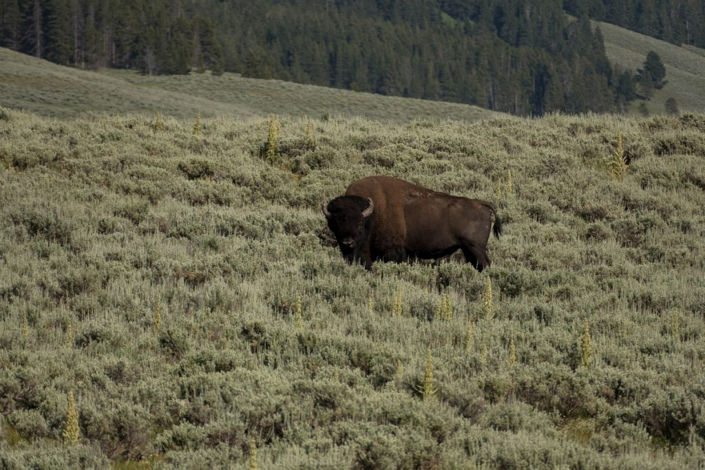 Bison dans le yellowstone